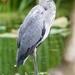 Heron by padlock