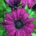 Purple Drops by paintdipper