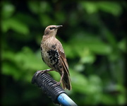 2nd Aug 2016 - Young starling