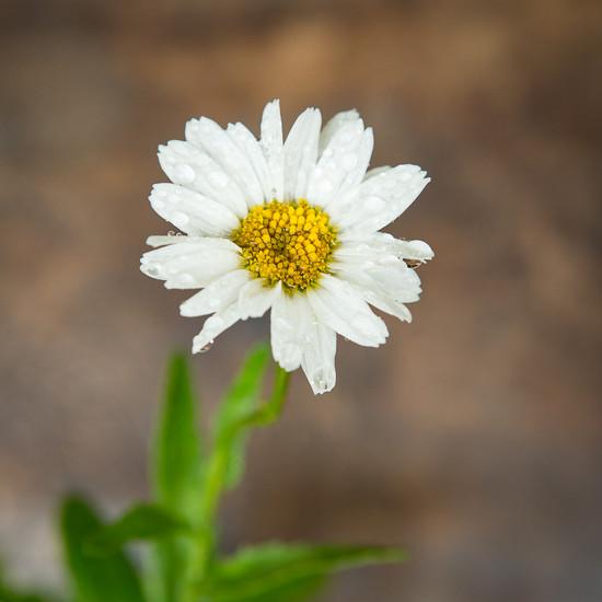 Wet daisy  by suebarni