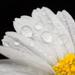 Part of a wet daisy