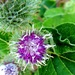 Burdock by julienne1