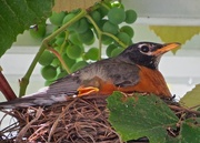 1st Aug 2016 - Robin in the Grape Arbor