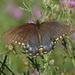 Spicebush Swallowtail by annepann