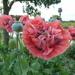 Poppies by amfrumbiddivurd