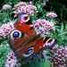 Peacock butterfly (Aglais io) by julienne1