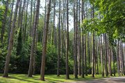 4th Aug 2016 - Tall trees
