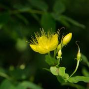 6th Jul 2016 - Fox Rosehill Garden: yellow flower