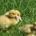 4 of 8 , 2 week old muscovy ducklings enjoying a little sunshine today by Dawn