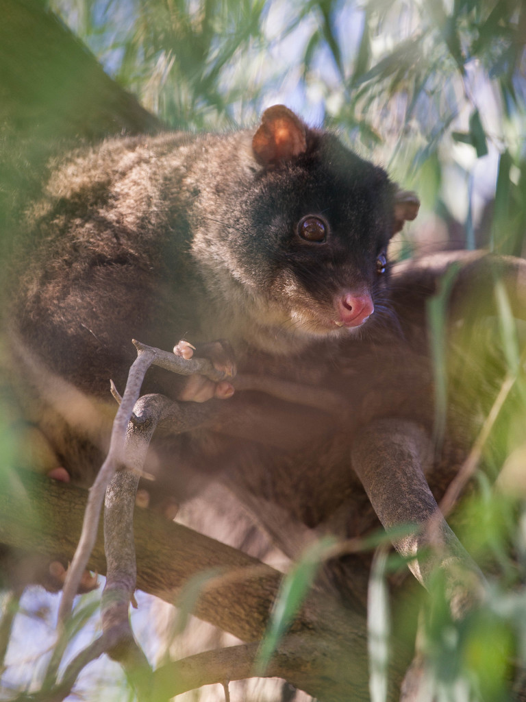 Ring tail possum by jodies