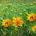 Carpet of Gazanias by leggzy