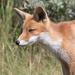 Fox by leonbuys83
