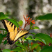One More Swallowtail Butterfly! by rickster549