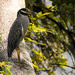Yellow-Crowned Night-heron! by rickster549