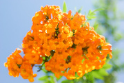 5th Aug 2016 - (Day 174) - Explosion of Orange