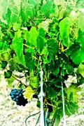 5th Aug 2016 - on the vine