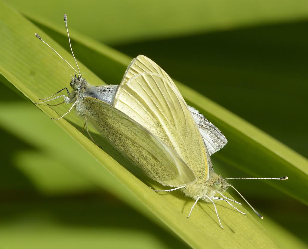 Little, Green Caterpillars In The Making _DSC9171 by merrelyn