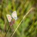 Common Blue by dorsethelen
