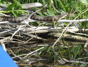 5th Aug 2016 - Banded Water Snake?