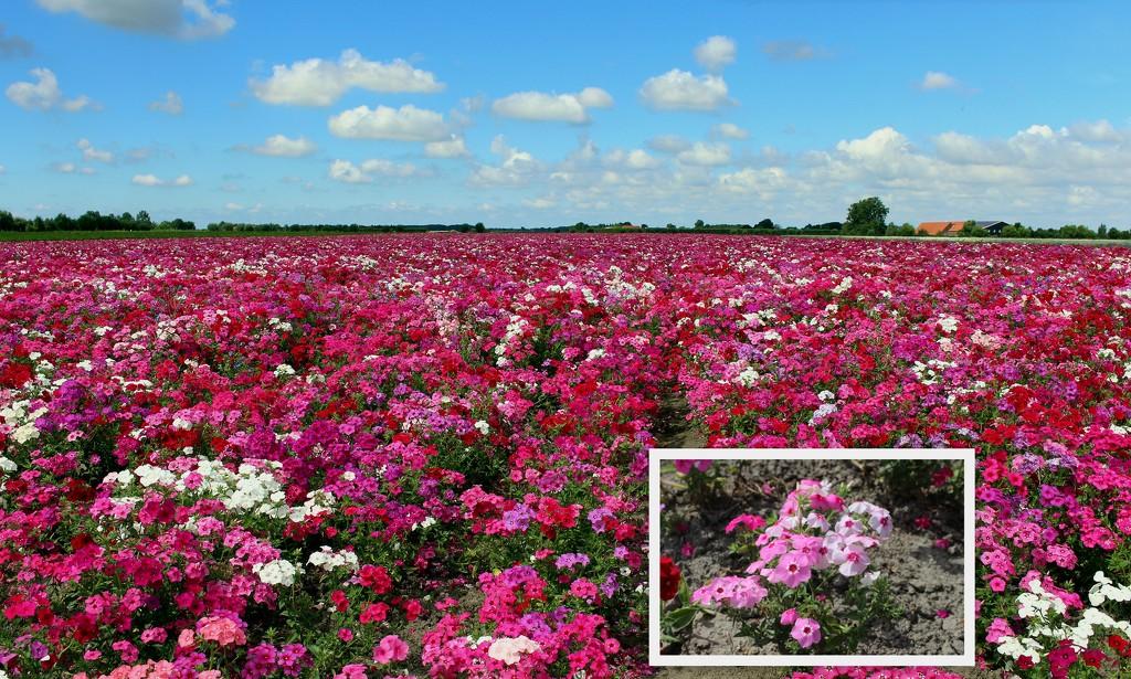 Phox flower field  by pyrrhula