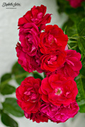 7th Aug 2016 - Roses