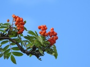 6th Aug 2016 - Red berries, blue sky