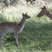 Fallow Deer by leonbuys83