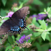 Black Swallowtail by tracys