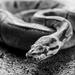 Zombie snake  by shylaine3304
