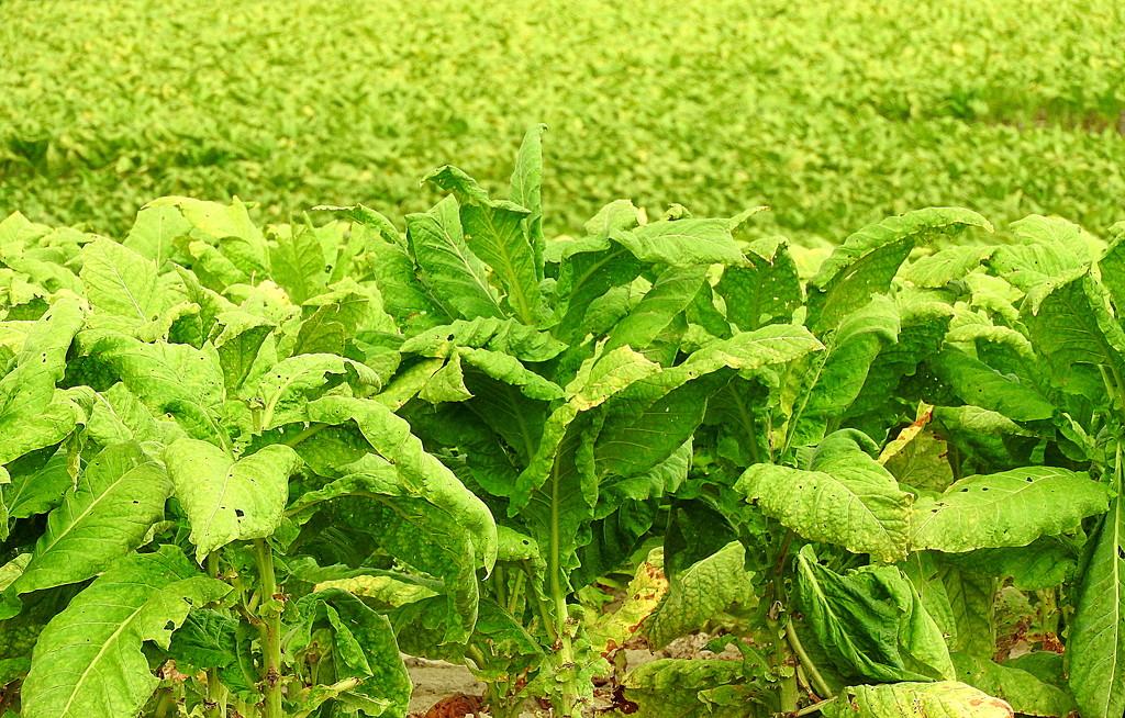 Tobacco (Depth of) Field by homeschoolmom