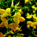 Birds-foot-trefoil .... by snowy