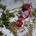 Last roses by pyrrhula