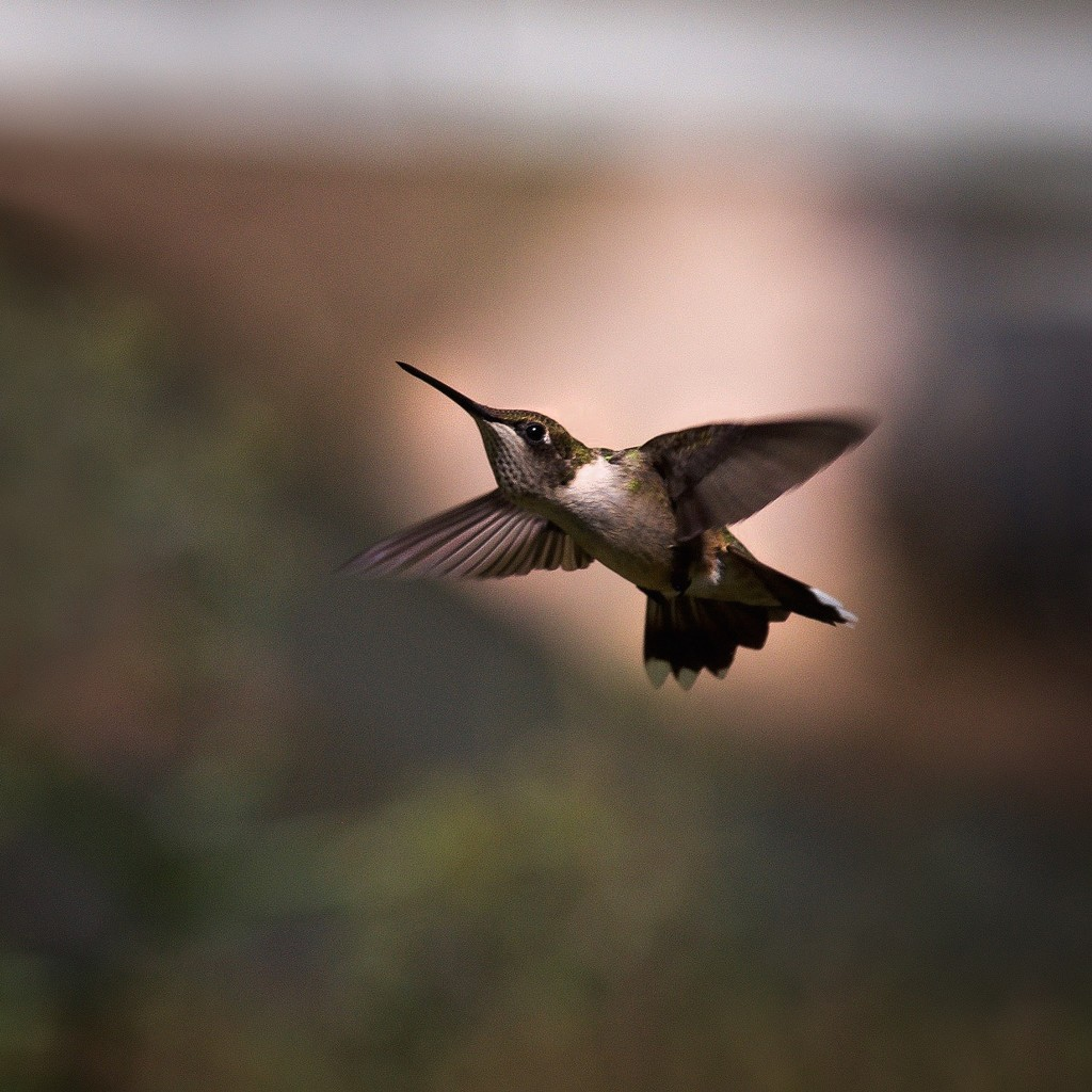Hovering Hummingbird by berelaxed