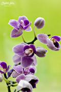 9th Aug 2016 - Mini Orchid
