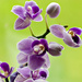 Mini Orchid by elisasaeter