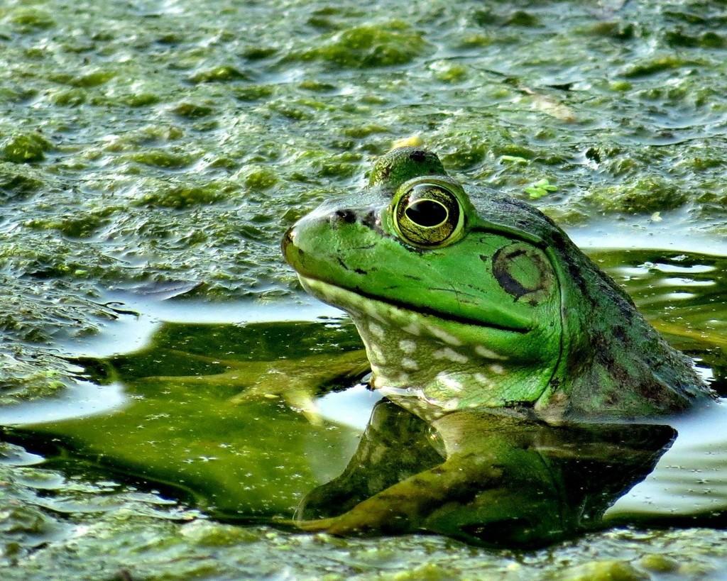 Fair Frog by lynnz