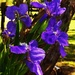 Purple Iris ~ by happysnaps