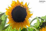 10th Aug 2016 - Sunflower