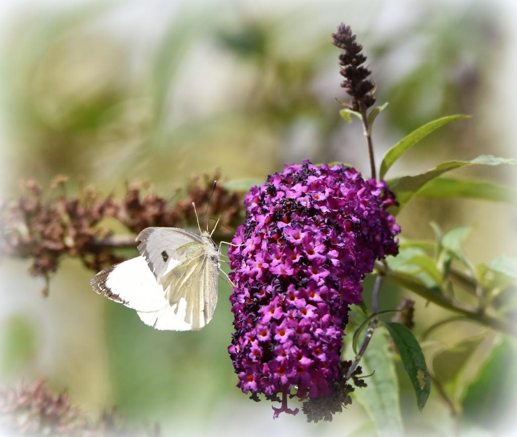 Butterfly bush by rosiekind