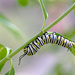 Monarch Caterpillar! by fayefaye