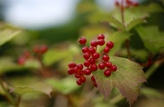 10th Aug 2016 - Day 223 - Wild Berries