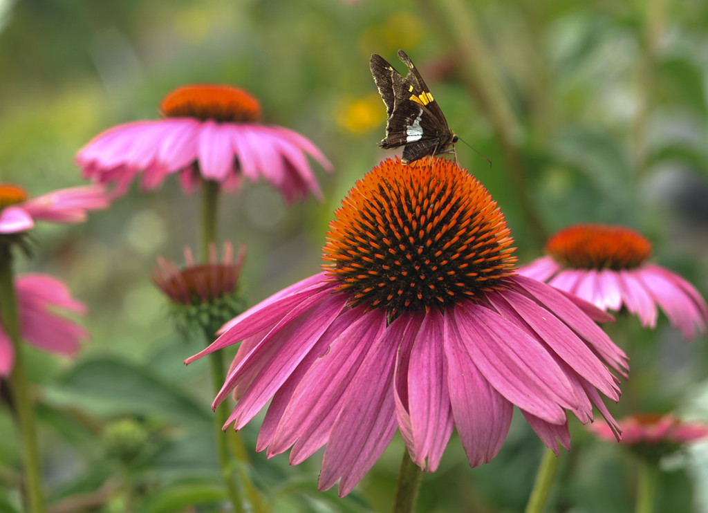 Cone Flower and Silver-spotted Skipper by loweygrace