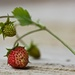Wild Strawberries by jamibann