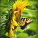 Sunflowers and Butterflies by homeschoolmom