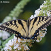 Tiger Swallowtail by falcon11
