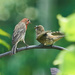 House Finch and Juvenile 2 by gardencat