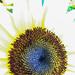 Sunflower  by loweygrace