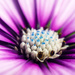 11/08/16 Osteospermum by m2016