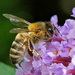 BUDDLEIA AND HONEY BEE by markp