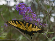 12th Aug 2016 - Swallowtail in the butterfly bush